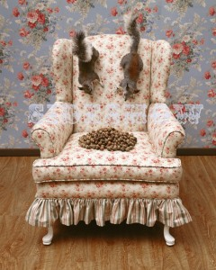 012 001 two squirrels on the back of an upholstered living room chair looking down at a pile of acorns on said chair. Flowered wallpaper in the background, and wooden floor